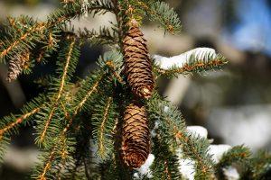 Cerveteri, le Guardie Ecozoofile di Fare Ambiente recuperano gli alberi di Natale veri