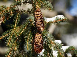 Cerveteri, le Guardie Ecozoofile recuperano gli alberi di Natale veri