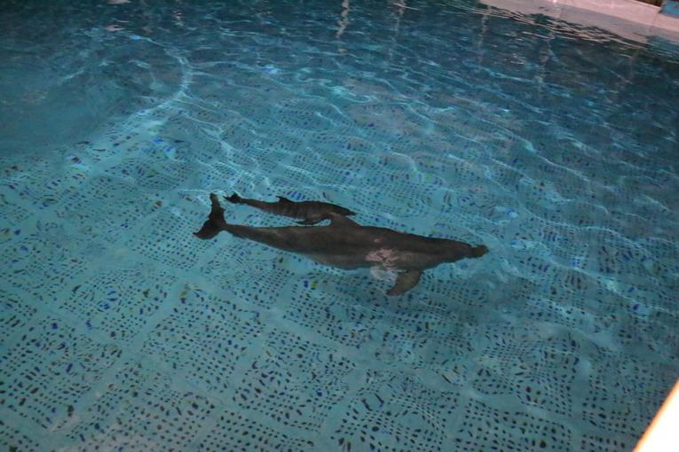 Zoomarine, nasce un cucciolo femmina di delfino: concorso per il nome