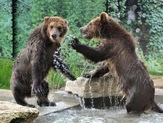 Bioparco di Roma, accolti tre cuccioli di orso bruno albanesi maltrattati