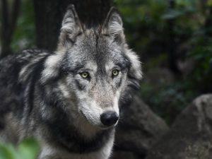 Il ritorno del lupo nel Parco Naturale di Bracciano Martignano