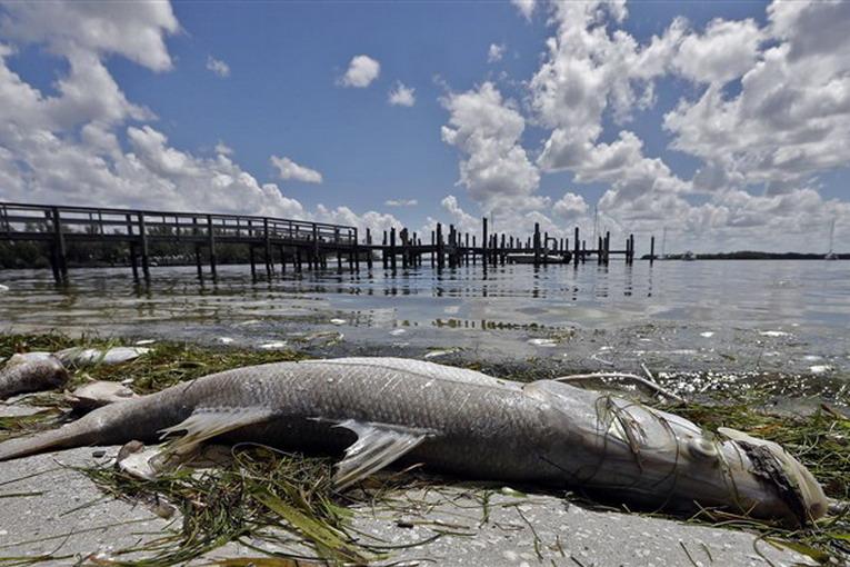 Florida, marea rossa decima la fauna acquatica: stato di emergenza
