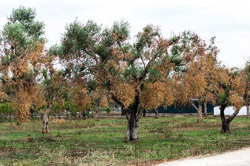 Xyella, oltre 1,2 miliardi di danni alle piante