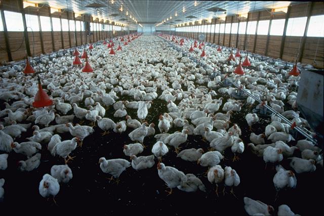 """Etichette benessere animale: """"Ecco perché possono essere ingannevoli"""""""